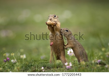 Cute gopher in proximity on a summer meadow with grass.