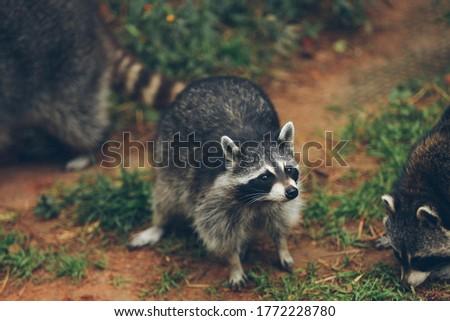 a grayish-brown American mammal that has a foxlike face with a black mask and a ringed tail.  Royalty-Free Stock Photo #1772228780