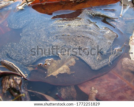 Common Suriname toad or star-fingered toad (Pipa pipa)