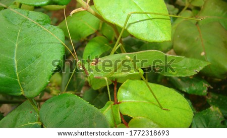 Katydid  katydid in the nature on the leaves green katydids. camouflage katydid. camouflage insects camouflage animals insects, insect, bugs, bug, animal, wildlife, wild nature, forest, woods, garden #1772318693