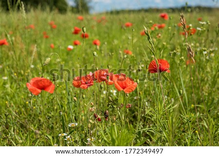 Photo of red poppies blooming in the tall green grass. A meadow in the middle of a forest and a small piece of blue sky. Summer mood and Sunny day