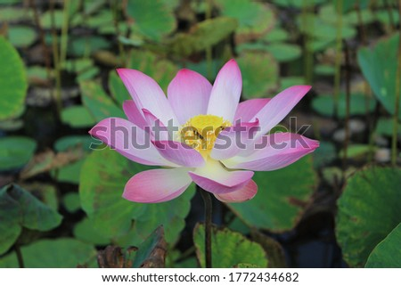 Royalty high quality free stock photo image of a pink lotus flower. The background is the leaf, pink flower, bud in a pond. Indonesia, Peace scene countryside, Beauty flower