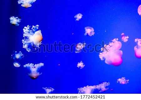 Photo Picture of Some Jellyfish Dangerous Poisonous Medusa