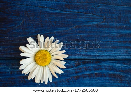 flower of white daisy (chamomile) on blue background
