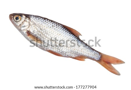 fish on a white background #177277904