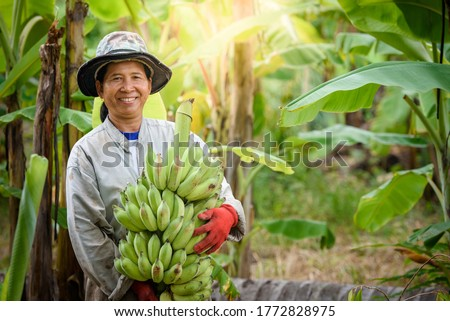 An Asian female farmer is holding raw bananas and collecting products in her banana plantation. Concept: Green fresh bananas #1772828975