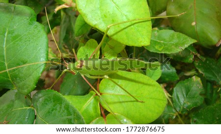 Katydid  katydid in the nature on the leaves green katydids. camouflage katydid. camouflage insects camouflage animals insects, insect, bugs, bug, animal, wildlife, wild nature, forest, woods, garden #1772876675