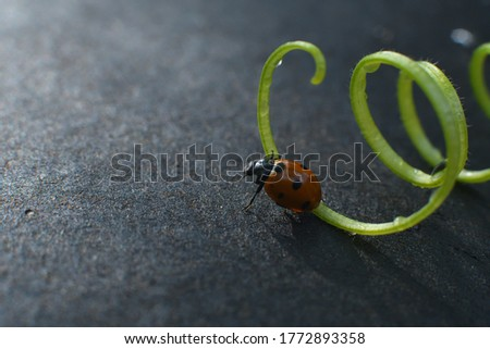 Little ladybug at the young grape tendril on the blurred black background. Bright picture, summer nature concept. blurry background.Close up.Copy spase.Macro
