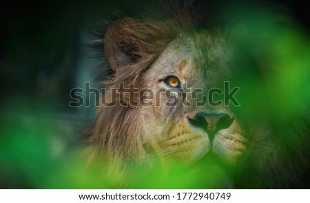 The lion of Berber predator face nad dangerous sight, the best photo