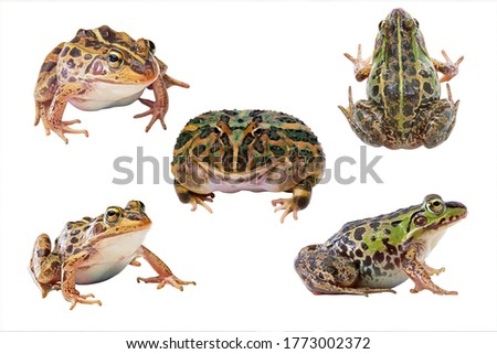 Five pictures of Bullfrogs with different angles. Animals Reptile, Macro amphibia, green frog