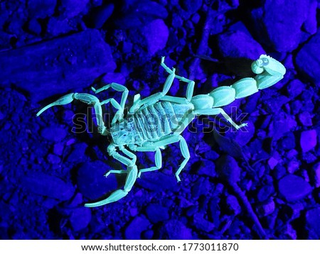 closeup/macro of an european common yellow scorpion and his exoskeleton called the cuticle, Buthus occitanus, glowing under UV/ultraviolet radiation,light. Royalty-Free Stock Photo #1773011870