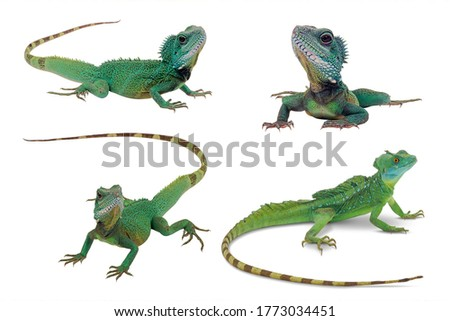Four pictures of Water dragon with different angles. Reptile green lizard on white background