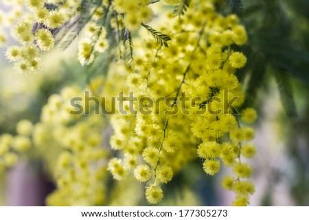 Mimosa flowers #177305273