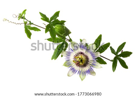 Passiflora (passionflower) with bud isolated on white background. Big beautiful flower. A branch of creepers with a bud. #1773066980