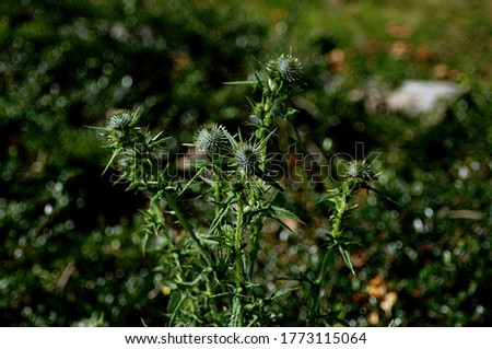 Canada Thistle, Cirsium arvense, noxious weed and invasive plant, pictured before it flowers.