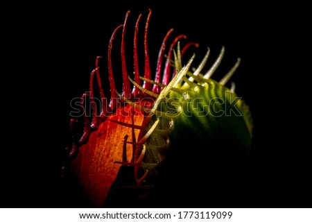 Venus fly catcher in red and green  Royalty-Free Stock Photo #1773119099