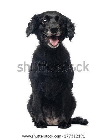 Front view of a cheerful Crossbreed dog sitting, panting, 11 years old, isolated on white #177312191