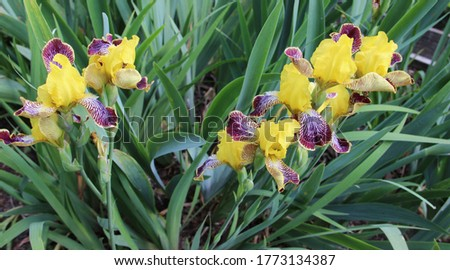 Beautiful green flower bed of blooming irises. Iris, or Kasatik (Latin: Iris) is a genus of perennial rhizomatous plants in the family Iris, or Kasatikovye (Iridaceae).