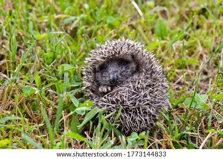 Photo Picture of an European Hedgehog Mammal Animal