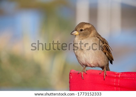 The female house sparrow, Passer domesticus, is a bird of the sparrow family Passeridae, found in most parts of the world. It is a small bird. The house sparrow is native to most of Europe