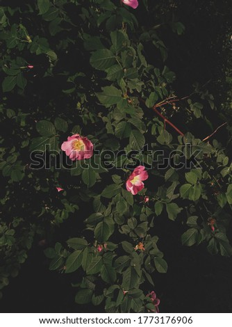 photo of a pink rosehip flower against a bush in good quality #1773176906