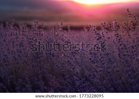 Lavender violet Field in the summer sunset time close up. Sunset gleam over purple flowers of lavender. Bushes on the center of picture and sun light on the left.