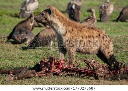 hyena in serengeti tanzania africa
