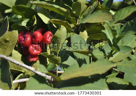 Water guava is a plant in the guava tribe or Myrtaceae originating from Southeast Asia. Guava water is actually different from guava semarang, close relatives who have trees and similar fruit #1773430301