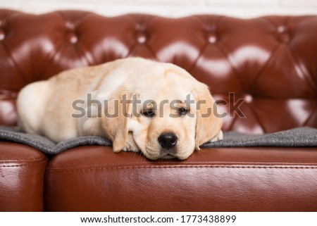 A Labrador puppy is lying on a brown sofa.Postcard.Beautiful picture