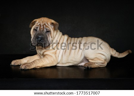 Dogs.Cute puppy of the sharpey breed on a black background.Postcard.Beautiful picture