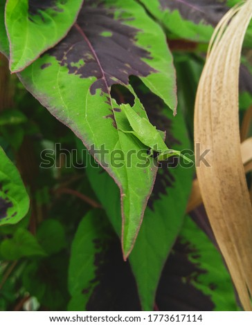 Small locust insect eating green leaves plant growing in garden, closeup of grasshopper, wild life and nature photography #1773617114