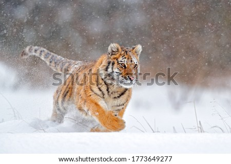 Tiger, cold winter in taiga, Russia. Snow flakes with wild Amur cat. Wildlife Russia.  Tiger snow run in wild winter nature. Siberian tiger, action wildlife scene with dangerous animal.  #1773649277