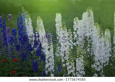 Delphinium flower blooming. Beautiful larkspur blooms. Candle Larkspur plant with flowers on blurred background #1773674585