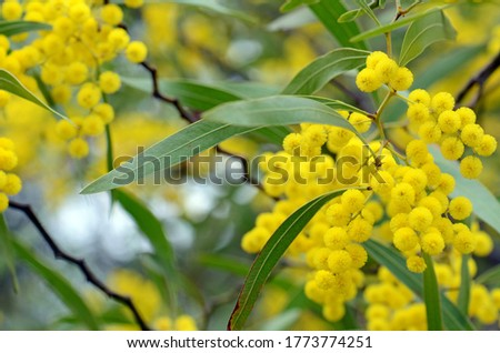 Flowers, leaves and distinctive stems of the Australian native Zig Zag wattle, Acacia macradenia, family Fabaceae. Endemic to central Queensland, Australia #1773774251