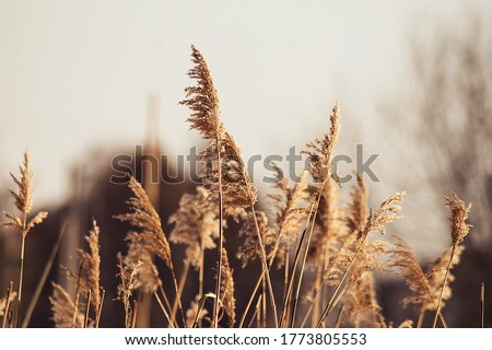 natural background with a beautiful spike in the foreground, a plant in sunlight, dried flowers #1773805553