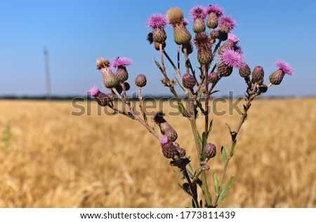 Sow thistle against wheet field. Sonchus arvensis pink flower plant with buds and leaves. Sonchus plant is the form of weed of the agricultural fields. Selective focus.