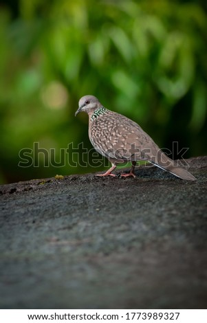 a picture of seated dove(Columbidae)