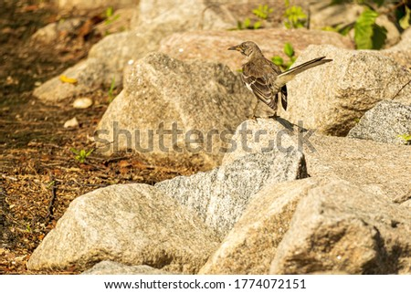 A Northern Mockingbird Surveys a Rocky Field Looking for Insects.