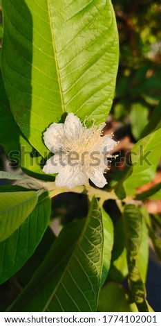 Guava-Psidium guajava, the common guava, yellow guava, or lemon guava, is an evergreen shrub or small tree native to the Caribbean, Central America and South America. #1774102001