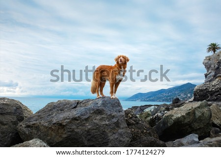 dog on the sea. Nova Scotia Duck Tolling Retriever on a stone and looks at the water. Italy, promenade, beach Royalty-Free Stock Photo #1774124279