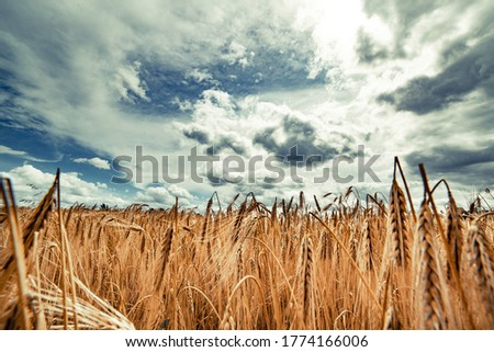 Beautiful landscape with field of ripe rye and blue summer sky.