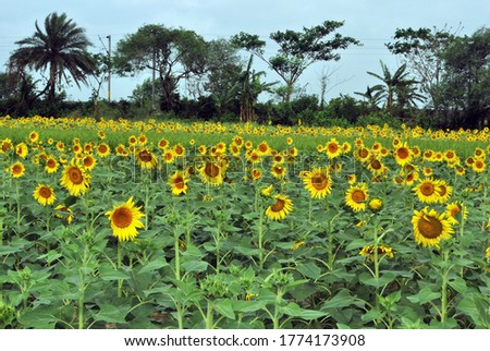 at sunflower field rural west bengal india