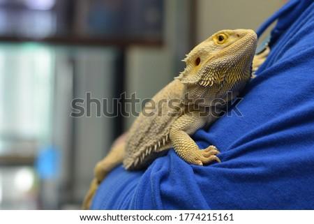 Holding A Bearded Dragon Pet Lizard