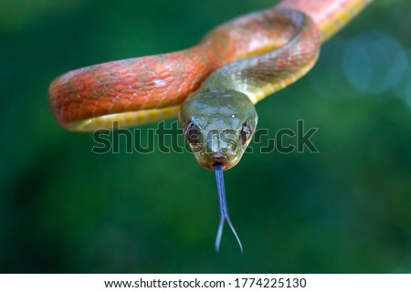"Red Boiga snake ""Boiga nigriceps"" closeup head, closeup snake"