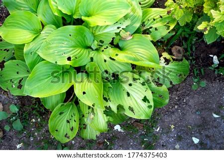 green leaves in garden eaten by slugs Royalty-Free Stock Photo #1774375403