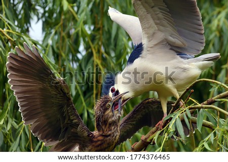 The black-crowned night heron (Nycticorax nycticorax),or black-capped night heron, commonly night heron sitting in the branches.Adult heron demands food for this year's birds. The chick begs for food. #1774376465