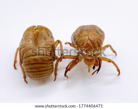 This is a picture of cicada's empty shells.