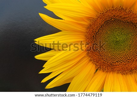 Half a sunflower on a black background. Beautiful bright background. Summer. Sunny