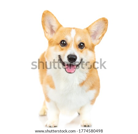 Welsh corgi Pembroke dog standing in a studio and looking at the camera isolated on white background Royalty-Free Stock Photo #1774580498