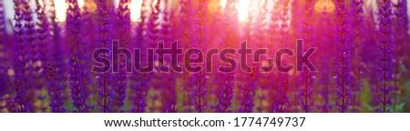 Violet lavender field at soft light. Sunset over a violet lavender field. Landscape with lavender flowers at sunlight, sunny colors and blur background. Violet lavender banner.